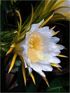 fruit flower, dragon fruit, pretti flower, flower beauti