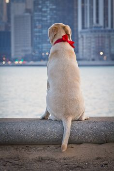 Yellow Labrador in Chicago | by CG3 Photography