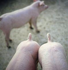 pig tails.