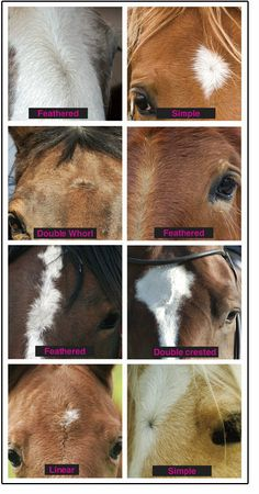 Swirlology, The Study of Hair Swirls or Whorls in Horses by Charlotte Cannon
