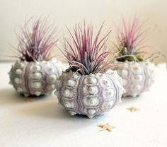 Set of 3 pineapple air plant sea urchin gardens ~ peacocktaco