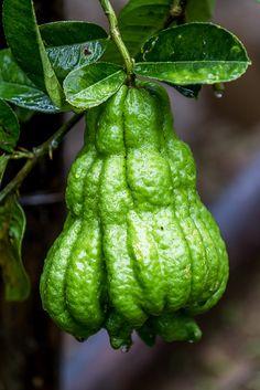 A ripening fruit of Buddha's-Hand 佛手柑 [ Citrus medica var. sarcodactylis] - Flickr - Photo Sharing!
