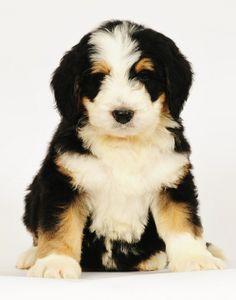Bernedoodle puppy from Swissridge kennels puppies, bernedoodl puppi, dog