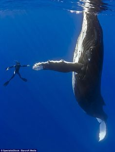 Humpback whale and diver Marco Queral in the South Pacific