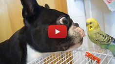 Boston Terrier Trying to Lick a Parakeet