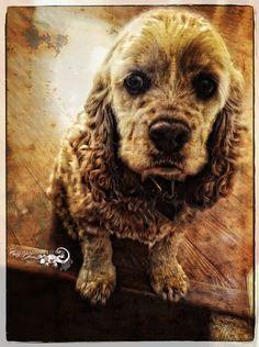 ~Sad Puppy~ buff Cocker Spaniel by Cindy A Joubert-Kelly - Dreaming Lizard Graphics