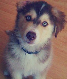 Golden Retriever/Siberian Husky mix! AHHHHH