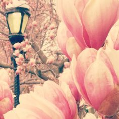 The saucer magnolias are in bloom in the Haupt Garden! #spring