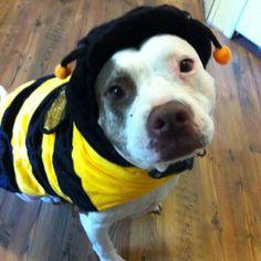 my little bumblebee #pitbull #smile #rescue #dog