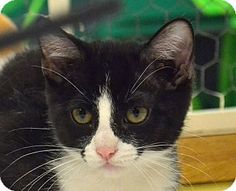 Searcy, AR - Domestic Shorthair. Meet Arsen, a cat for adoption. http://www.adoptapet.com/pet/11420567-searcy-arkansas-cat