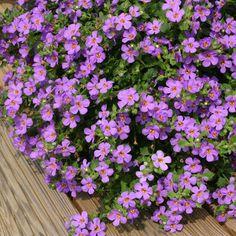 Bacopa - purple