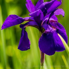 THE PURPLE IRIS!   O