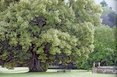One of the remarkable lime trees.