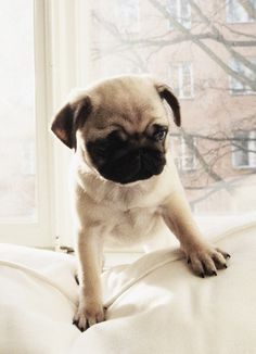 Pug. This is the one I want!