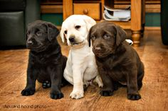 Labrador Retrievers, one in every color