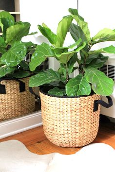 Fiddle leaf fig tree ikea