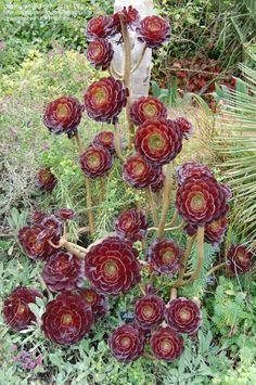 Purple Crest Aeonium, Black Tree Aeonium Zwartkop. So unique