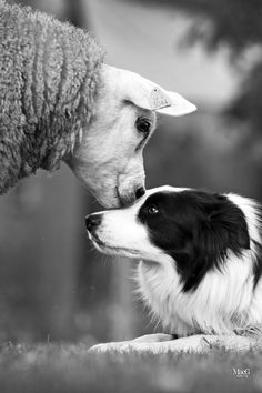 Border Collie and sheep, what a beautiful pic.