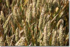 Einkorn Ancient Grain image