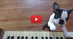 Watch these Cute Boston Terrier Puppies Learning to Play the Piano! → http://www.bterrier.com/?p=10651 - https://www.facebook.com/bterrierdogs