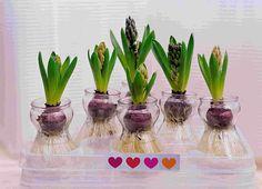 winter, forc flower, flower bulb, wedding flowers, flower decorations