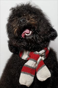 Ruby, Barbet (French Water Dog) photo by Piotr M Organa.