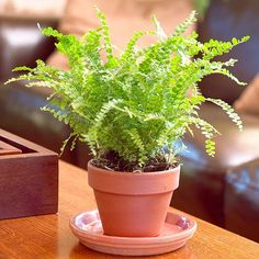 Lemon Button Fern and 8 other easy ferns to grow as houseplants.