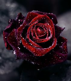 Red/Purple rose