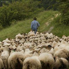 I wish I had a herd of sheep to follow me everywhere.... 