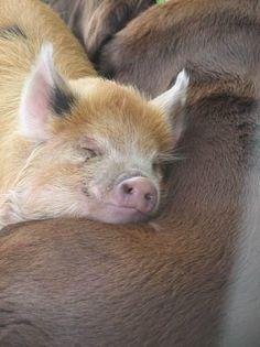 pigs smile :)