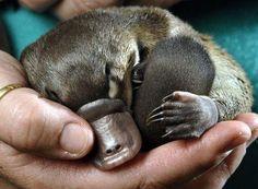 Platypus, my favorite animal in the WORLD!!