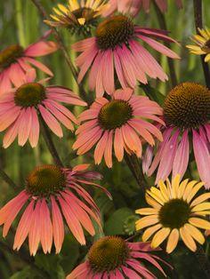 'Summer Cocktail' Coneflower  Echinacea coneflow echinacea, coneflow sale, garden oasi, bulbs, cocktails, flower, garden enjoy, deer, coneflow perenni