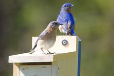 photo by Henry McLin: Bluebird couple