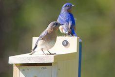photo by Henry McLin: Bluebird couple