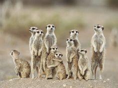 Meerkat Family Love, Namibia, Africa