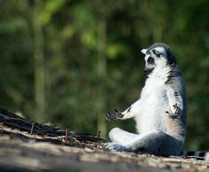Look at this meditating lemur