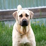 dogs, olymp dog, roman daddi, top dog, kangal, shepherd dog