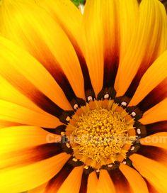 Yellow flower in Tipon, Peru