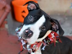 TO BE DESTROYED ON 10/13/14.  Brooklyn Center - P  My name is ZOEY. My Animal ID # is A1016305. I am a female black and white pit bull mix. The shelter thinks I am about 7 MONTHS old.   For more information on adopting from the NYC AC&C, or to  find a rescue to assist, please read the following: http://urgentpetsondeathrow.org/must-read/