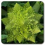 Organic Tipoff F1 Romanesco Cauliflower- trying again this year! Last year it never flowered.