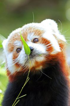Delightfully Manic panda hypnot, animal pictures, redpanda, red pandas, creatur, picture frames, baby animals, leaves, animal babies