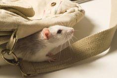 rat :)