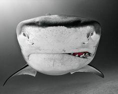 Tiger Shark by Todd Bretl