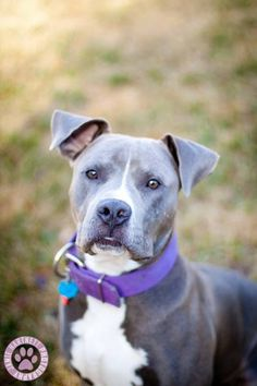 Shadow  Pit Bull Terrier • Young • Male • Medium  Lake Charles Pit Bull Rescue lake charles, LA