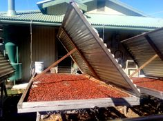 The #cocoa beans at the Original Hawaiian #Chocolate Factory are sun-dried for 30 days.