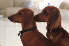 dachshund double vision