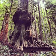 """Here's one for the bucket list: Visiting Avatar Grove outside Port Renfrew, home to """"Canada's gnarliest tree!""""  This shot is from our Instagram follower @westcoastkayaker."""