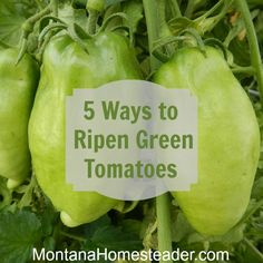 5 ways to ripen green tomatoes indoors. Montana Homesteader
