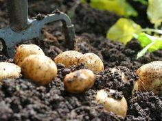 Best way to grow potatoes