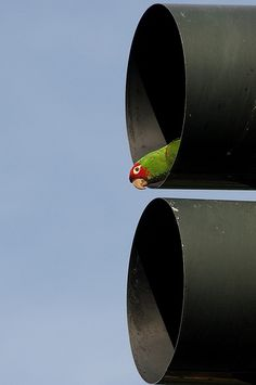Photo of the Day: Wild Parrots of Coit Tower: